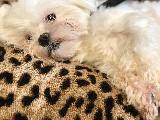 Kore kan maltese terrier egitimli asili malzemeleriyle