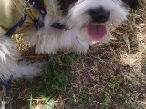 ACİLL Satılık terrier 4 aylık