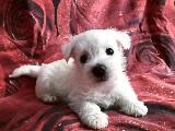 Beyaz Terrier Yavru