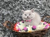 Sıcakkanlı, Oyuncu Lilac British Shorthair Yavrumuz