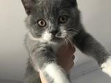 2.5 aylık british kedimi ücretli sahiplendiriyorum