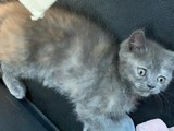 British Shorthair Kedi Maması+Kedi tuvaleti+Kedi kumu