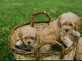scr li toy poodle yavrularımız