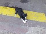 İKİ AYLIK jack russell terrier ERKEK