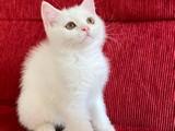 Safkan British Shorthair yavrular