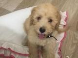 Toy Poodle Erkek
