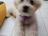 Dişi Maltese Terrier Yavrusu