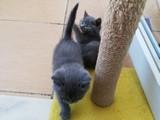Kayseri'den Saf British Yavru Kediler 2 Aylık