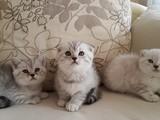 Silver point ve Lynx point Scottish Fold ve British Yavrularımız Yeni Yuvalarına Hazırlar!