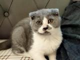 2 buçuk aylık ( SAF ) SCHOTİSH ve BRITISH kedilerim yeni sahiplerini arıyor !!!!
