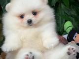 @Yavrupatiler den pomeranian boo beyaz yavru