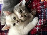 Scottish Fold ve British Shorthair yavrular gri erkek beyaz kız