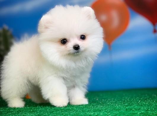 Pomeranian boo Yavrumuz POCO @yavrupatiler den SAFKAN - Yavrupatiler