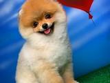 Pomeranian boo Ayı surat TEDBEAR Yavru SUSAM @yavrupatiler den SAFKAN