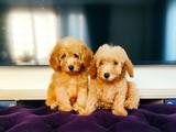 Satılık Toy Poodle Yavrularımız