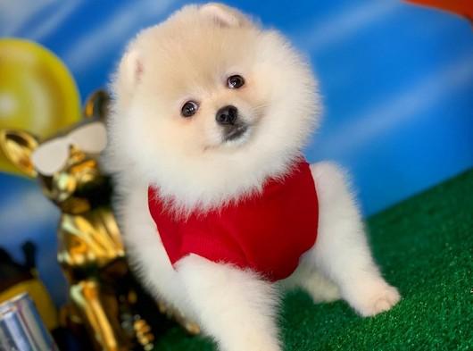 @Yavrupatiler den Pomeranian Boo beyaz kızımız Suzy