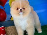 Pomeranian Boo teddybear YARIŞMA DÜZEYİNDE oğlumuz ŞANSLI / Yavrupatiler den