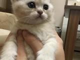 Scottish Straight Silver Yavru Kediler Ömürlük Yuvalarını Arıyor