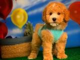 @yavrupatiler / Toy Poodle Apricot Erkek Yavrumuz MELON