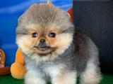 NADİR RENK BOZ GRİ / Pomeranian BOO oyuncu yavrumuz BOZO / Yavrupatiler den