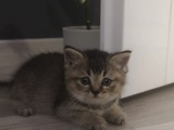 Golden Tabby British Shorthair