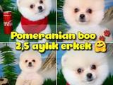 Safkan Orjinal Pomeranian Boo oyuncu erkek yavru PROBİS / Yavrupatiler