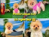 Orjinal Safkan Pomeranian Boo Dişi Yavrumuz PENA / Yavrupatiler