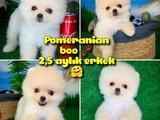 Oyuncu Pomeranian Boo beyaz oğlumuz Yorki / Yavrupatiler
