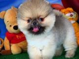 Tobby isimli 3 aylık erkek pomeranian boo köpeğimiz