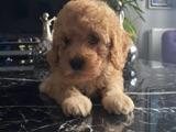 tarçın toy poodle