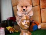 Yavru patilerden 3 aylık dişi Safkan Pomeranian Boo Oyuncu Yuvarlak Surat Kızımız PONY