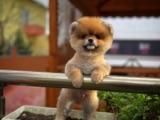 OYUNCU OĞLUMUZ 3 aylık erkek ayı surat teddybear teacup YAVRU PATİLERDEN
