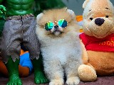Aa Kalite Safkan Pomeranian Boo Oglumuz Lucky