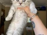 Silver Tabby British Shorthair Yavru