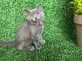 Blue Alice British Shorthair Yavrumuz