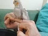 Bebek sultan Papağanı