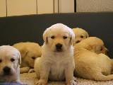 bebek yüz golden yavrular