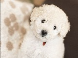 Toy Poodle Yavruları Orjinal 0 Beden Irk Garantili
