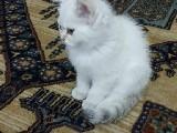 blue point biritish 4 aylık  erkek beyaz mavi gözlü eğitimli sevilir