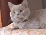 British shorthair BURSA