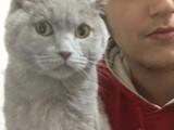 British shorthair lilac Çok Uysal Tam bir ev kedisi
