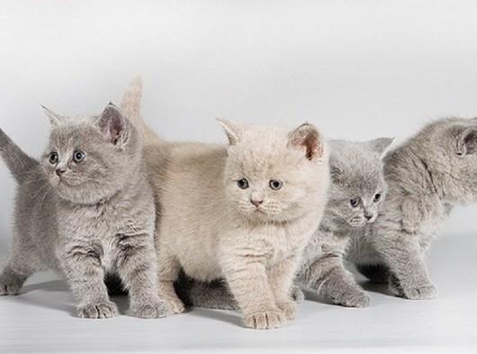 birbirinden sevimli blue british shorthair yavruları