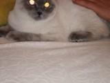 Çiftleştirmek için uygun cins dişi kedi aranıyor