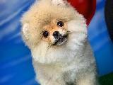 Gülen Surat Pomeranian Boo Kızımız Pamuk