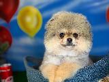 Gülen Surat Pomeranian Boo Kızımız Lucy