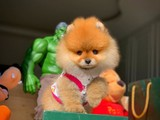 En iyi kalite ve fiyat Pomeranian