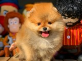Eu pasaport karne wc eğitimli miniboy Pomeranian