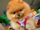 Eu pasaport tuvalet eğitimli aşkları yapılı Pomeranian yavrularımız