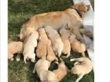 Ev doğumu Baby Face golden retriever yavrularımız