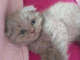 Evinizin yeni üyesi scottish  fold :)